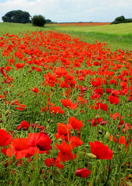 Poppies near Doles Ash by Alister Roughton